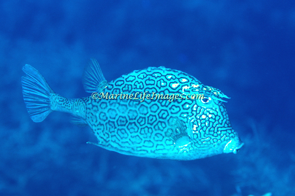 Honeycomb Cowfish swim about reefs blending with the background in Tropical West Atlantic; picture taken Grand Cayman.