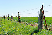 Dead coyotes hanging from a fence next to a wheat field in central Oklahoma.  Farmers shoot the coyotes to protect farm animals.