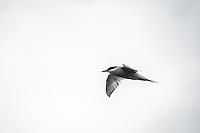 Antarctic Tern in flight near the Antarctic Peninsula.