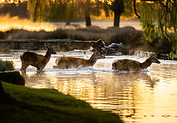© Licensed to London News Pictures. 07/04/2021. London, UK. Deer cross a stream in freezing conditions at dawn in Bushy Park, south west London. Below zero temperatures overnight have brought frost to some parts of the south. Photo credit: Peter Macdiarmid/LNP