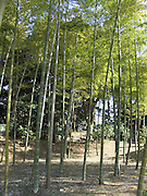 Bamboo trees in a park in Tokyo