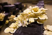 Oyster mushrooms, pleurote champignons, Pleurotus ostreatus, grow in troglodyte cave in Loire Valley, France
