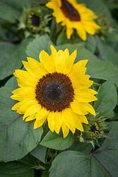 Helianthus annuus 'Suntastic'