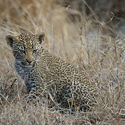 Leopard cub. South Africa.