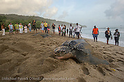 Tourists and local residents watch a Leatherback Sea Turtle, Dermochelys coriacea, nest in G rande Riviere, Trinidad and return to the Caribbean Sea. This beach is one of the most important nesting locations for the critically endangered reptile in the world.