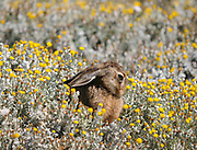 A European Hare, Liebre, Brown Hare,  (Lepus europaeus) sits with its ears down in a patch of yellow flowers. The hare is an introduction from Europe. Otway Sound. Punta Arenas, Republic of Chile. 16Feb13