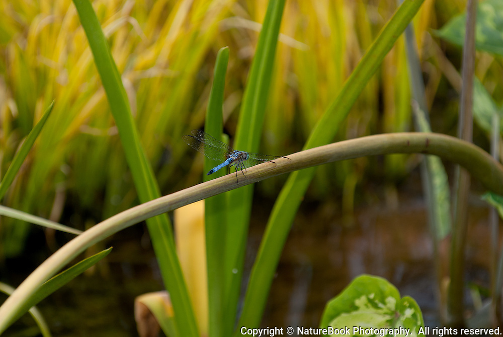 As if walking a tightrope, a dragonfly makes its way across the stem of a bent plant in a private water garden.