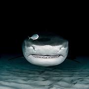 Tiger Shark over sand on dark background