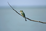 Little Bee-eater (Merops pusillus) perched on a brach Photographed in Ethiopia, Amhara Region