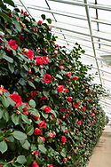 A wall of Camellia japonica 'Chandleri',  red camellias with a touch of white in the conservatory at Chiswick House, Chiswick, London, UK