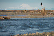One of the 49+ bald eagles I counted sitting in shallow water on a gravel bar at the mouth of the Elwha River west of Port Angeles, WA. They were fishing a run of small fish. This one sat on a snag for a bit before rejoining the crown in the river. Mt. Baker is in the background.