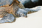 A Hawaiian Green Sea Turtle rests with its face in the sand on the North Shore of Oahu.