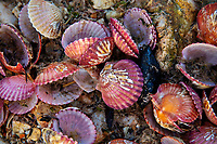 Mussels, bivalvia sp, on the tocky shoreline of Zhifu Island (Chinese: 芝罘島), Shandong Province, China, byt the Bohai Sea, that is the inner part of the Yellow Sea where both the Yellow River and Hai He flow into.<br /><br />Conservation: The Yellow Sea is one of the most threatened marine areas on earth. Land reclamation has destructed more than 60% of tidal wetlands in only 50 years. Rapid coastal development for agriculture, aquaculture and industrial.development are primary drivers of coastal destruction in the region. In addition pollution, harmful algal blooms, invasion of introduced species are having a negative effect. There are 25 intentionally introduced species and 9 unintentionally introduced species in the Yellow Sea marine ecosystem.