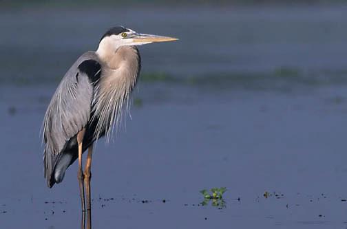 Great Blue Heron, (Ardea herodias) In Myakka River State Park. Florida.