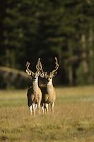 Mule deer (Odocoileus hemionus) bucks in velvet grazing in Tuolume Meadows at Yosemite National Park.