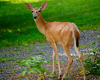 Doe visiting the house. Image taken with a Fuji X-T3 camera and 200 mm f/2 lens (ISO 500, 200 mm, f/4, 1/300 sec).