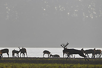 Père David's deer, or Milu, Elaphurus davidianus, Hubei Tian'ezhou Milu National Nature Reserve, Shishou, Hubei, China. The dominant harem-keeping stag in the herd.