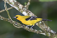 Yellow Oriole - Icterus nigrogularis