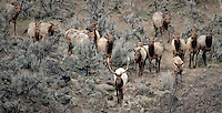 A bull elk leads his harem down a ridge at Oak Creek, Cascade Range, Washington, USA