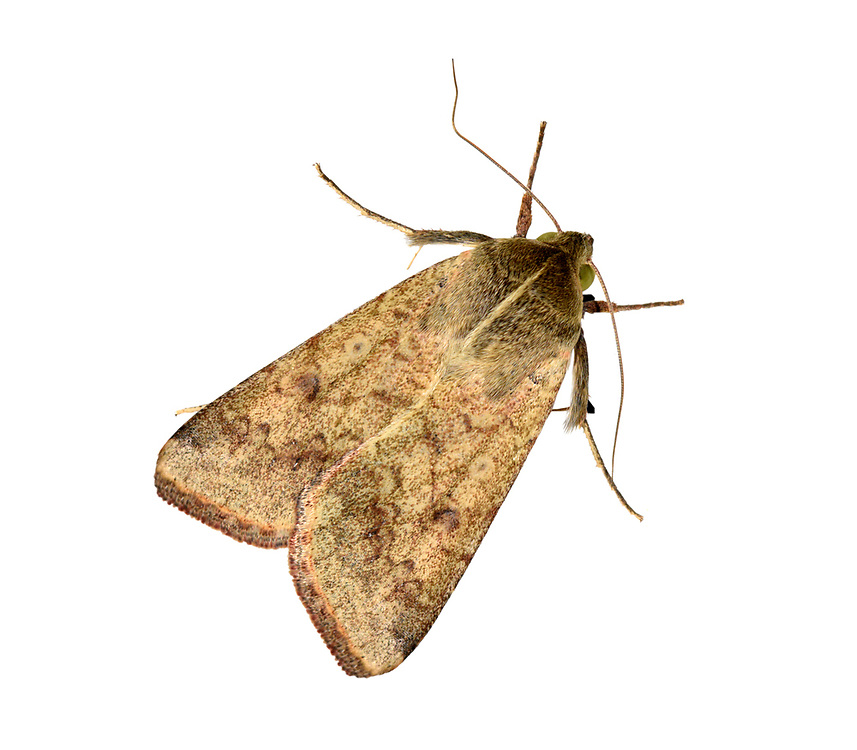 Scarce Bordered Straw - Helicoverpa armigera