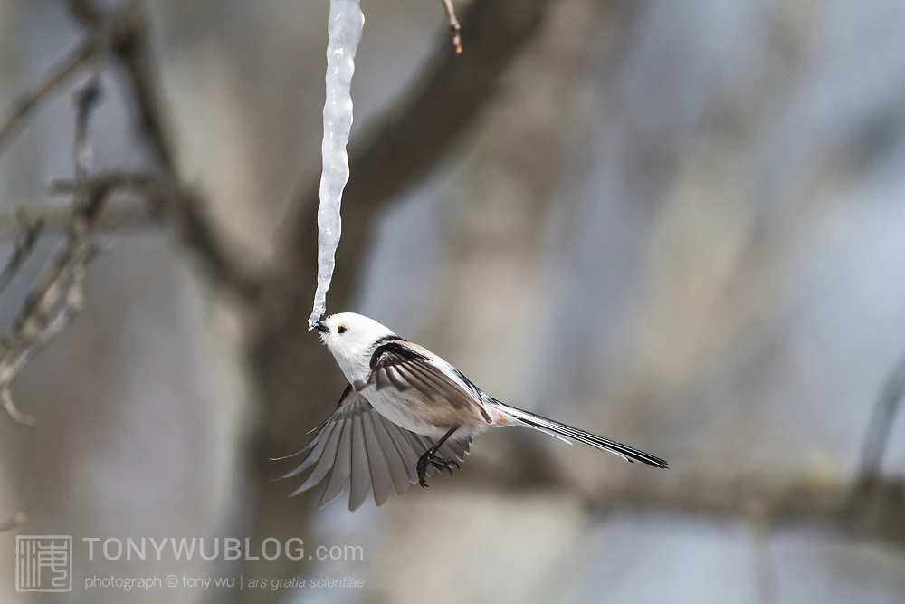 This is a long-tailed tit (Aegithalos caudatus) hovering in front of an icicle formed from the sap of a painted maple tree (Acer pictum). During winter months, small birds like this make use of this calorie-rich food source (essentially frozen maple syrup) to fuel their high metabolisms. The birds fly to an icicle, hover, break off a piece and fly away, all in the blink of eye. Image 1 in a sequence of 3, showing the bird grab the icicle.