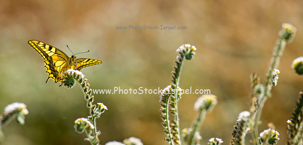 Common yellow swallowtail (Papilio machaon) butterfly seen from underneath, with its wings spread. This species, also known as the Old World swallowtail, is native to Europe and Asia. Photographed in Israel in September