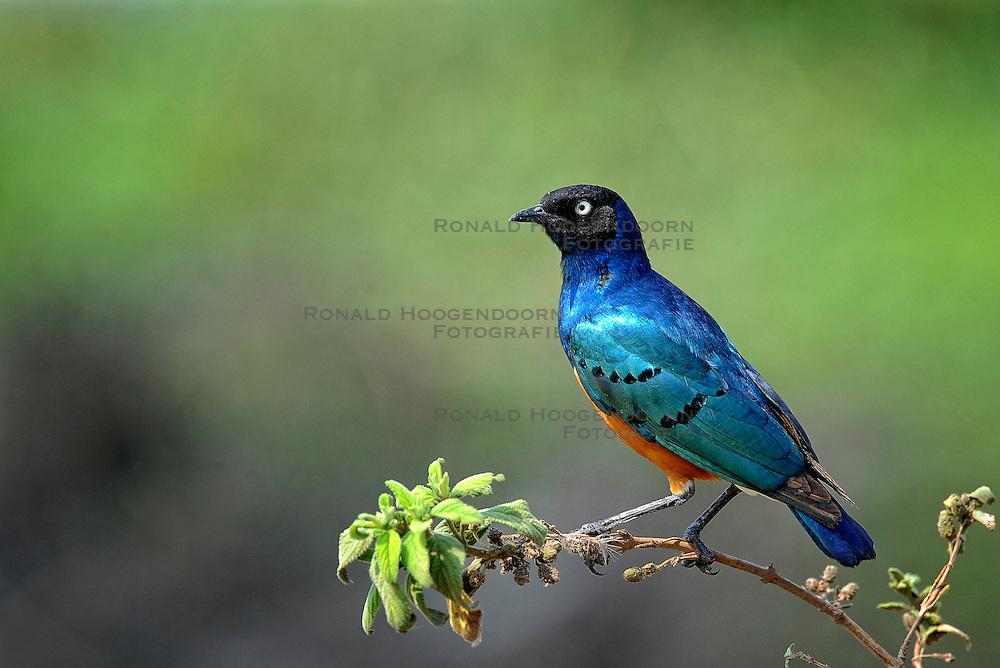 24-10-2008 REPORTAGE: KILIMANJARO CHALLENGE 2008: TANZANIA <br /> De dag van De Ngorongoro-krater, de grootste intakte caldera (ingestorte vulkaankegel) ter wereld. Hij bevindt zich ten noordwesten van Arusha in Tanzania / Wild, dieren, Natuur, vogels, Drie kleuren spreeuw<br /> ©2008-FotoHoogendoorn.nl