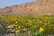 After a rare rainy season in the Judaea Desert and on the shores of the Dead Sea an abundance of wildflowers sprout out and bloom. Blooming Yellow Aaronsohnia factorovskyi Photographed on the shores of the Dead Sea, Israel in February