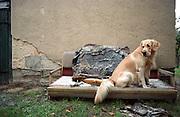 Golden Retriever Lemmy. Der Golden Retriever ist ein intelligenter, freudig arbeitender Hund, dem auch extreme, nasskalte Witterungsbedingungen nichts ausmachen. Dem steht allerdings eine relativ starke Empfindlichkeit hinsichtlich hoher Temperaturen gegenüber. Grundsätzlich ist die Rasse ruhig, geduldig, aufmerksam und niemals aggressiv.<br /> <br /> Golden Retriever Lemmy.