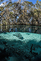 A young manatee knows exactly where the warmest place in the freshwater springs is on this January winter day. Florida manatees come to Three Sisters Springs during the cooler months to rest and stay warm. This split-level image has the spring below and blue sky with cypress and other trees above. Taken in the Crystal River National Wildlife Refuge, Kings Bay, Crystal River, Citrus County, Florida USA. Florida manatee, Trichechus manatus latirostris, a subspecies of the West Indian manatee