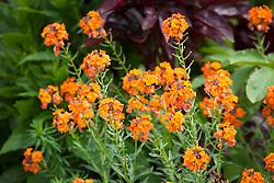 Erysimum 'Apricot Twist'. Wallflower 'Apricot Twist'