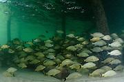 Bluestriped Grunt (Haemulon sciurus)<br /> under dock<br /> Ambergris Caye and Caye Caulker<br /> Belize<br /> Central America