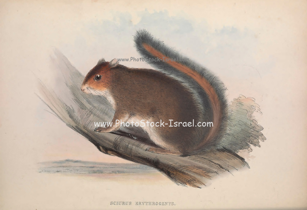 Squirrel From the book Zoologia typica; or, Figures of new and rare animals and birds described in the proceedings, or exhibited in the collections of the Zoological Society of London. By Fraser, Louis. Zoological Society of London. Published by the author in London, March 1847