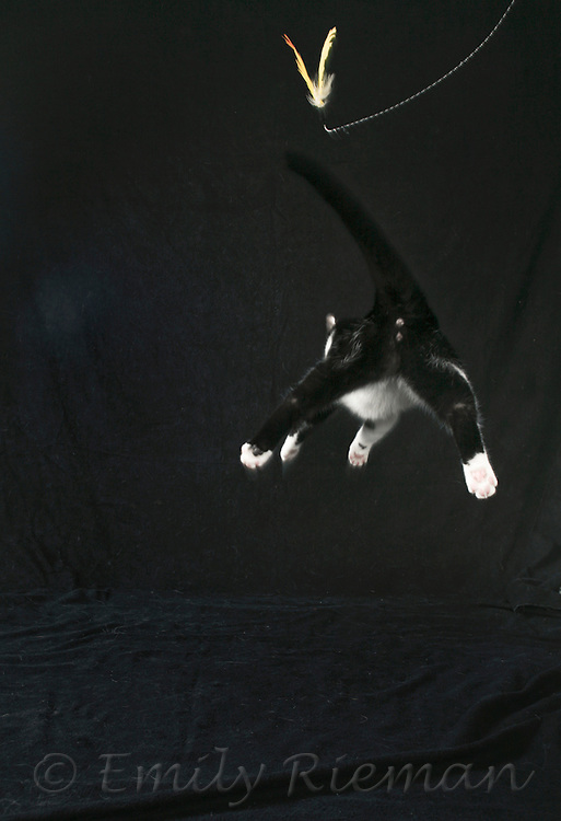 Cat jumping for bird toy.