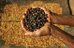 Coffee beans with husks removed; being held above pile of beans with husks intact; at a small farm near Vinales; Cuba,
