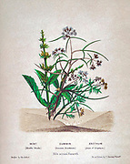 Bouquet of Mint (Mentha viridis), Cummin (Cuminum cyminum), Anethum (Anise) from Plants Of The Holy Land: With Their Fruits And Flowers, Beautifully Illustrated By Original Drawings, Colored From Nature by Rev. Osborn, H. S. (Henry Stafford), 1823-1894 Published in Philadelphia, By J.B. Lippincott & Co. in 1861
