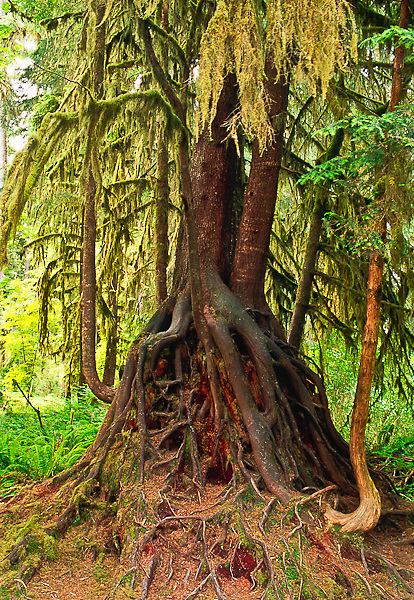 """A """"Stilt Tree"""" The roots of this hemlock tree grew around a nurse log, which is a fallen tree that provided minerals and moisture for new trees and plants.  As the nurse log rotted away the large roots of the new tree are exposed showing a stilt effect.  How Rain Forest, Olympic National Park, Washington."""