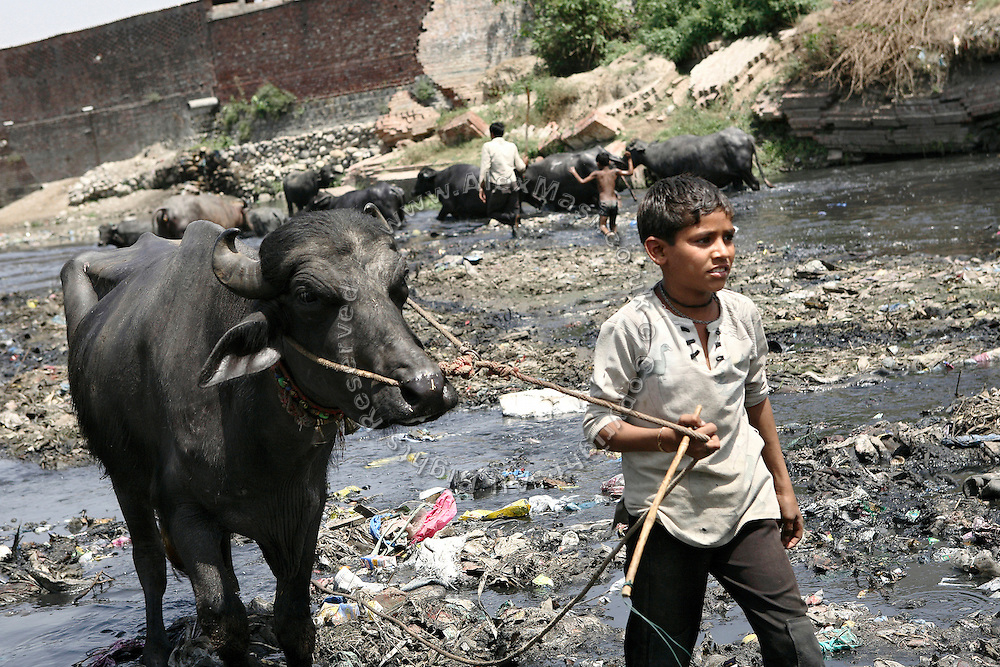 Sakib, 7, from the Patanpura Colony, Saharanphur District, is leading his buffalo out of the Dhamola river, a severely polluted small-size watercourse, in reality more similar to a drain, that joins the Hindon river a few kilometres downstream, on Friday, Apr. 18, 2008. Sakib regularly comes here with his family to wash their buffaloes and provide them water to drink, unaware of the consequences the contamination could have on himself and his animals.