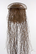 AUT, Österreich: Cyanea capillata, Haarqualle, dieses Glasmodell stammt aus dem Werk der naturwissenschaftlichen Glaskünstler Leopold Blaschka (1822-1895) und Sohn Rudolf Blaschka (1857-1939). Zwischen 1863 und 1890 entstanden in der Dresdner Werkstatt Tausende Glasmodelle wirbelloser Meerestiere, die ihren Weg in Museen und Universitäten der ganzen Welt fanden. Diese Nachbildungen verblüffen bis heute, denn sie sind morphologisch fehlerfrei und halten naturwissenschaftlichen Betrachtungen bis ins Detail stand - die perfekte Verschmelzung von Kunst und Naturwissenschaft. Die Blaschkas hatten keine Lehrlinge und es gibt keine weiteren Nachfahren. Vater und Sohn haben das Geheimnis ihrer einzigartigen Technik mit ins Grab genommen, Blaschka-Sammlung, Institut für Zoologie, Universität Wien | AUT, Austria: Cyanea capillata, Lions mane jellyfish, this glass model originated from the work of the scientific glass artists Leopold Blaschka (1822-1895) and his son Rudolf Blaschka (1857-1939). Between 1863 and 1890 thousands of glass models of invertebrates sea animals developed in the workshop in Dresden, which found their way in museums and universities of the whole world. These reproductions amaze until today, because they are morphologically exact and withstand scientific examinations in detail - the perfect fusion of art and natural science. The Blaschkas didn?t have apprentices and it gives no further descendants. Father and son took the secret of their inimitable technology also in the grave, Blaschka-Collection, Institute of Zoology, University Vienna |