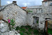 Wildflower growing on wall of old ruined stone house, village of Zrnovo, island of Korcula, Croatia