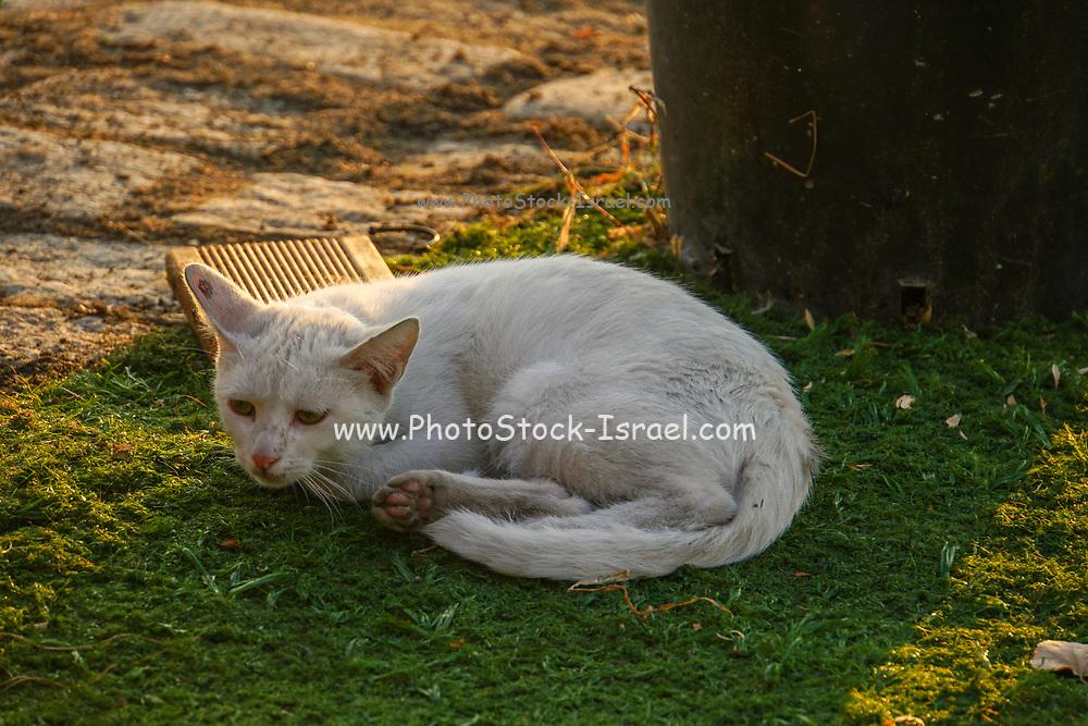 White domestic cat sleeps on green grass