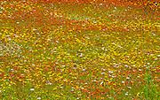 Wildflowers (Daisies, Hawkweed, Buffalo Bean)<br /> Jellicoe<br /> Ontario<br /> Canada