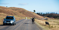 In Custer State Park, motorist must yield the right of way to all wildlife.   South Dakota.