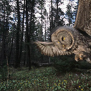 Great Gray Owl, (Strix nebulosa) Adult hunting in forest. Montana. Spring.