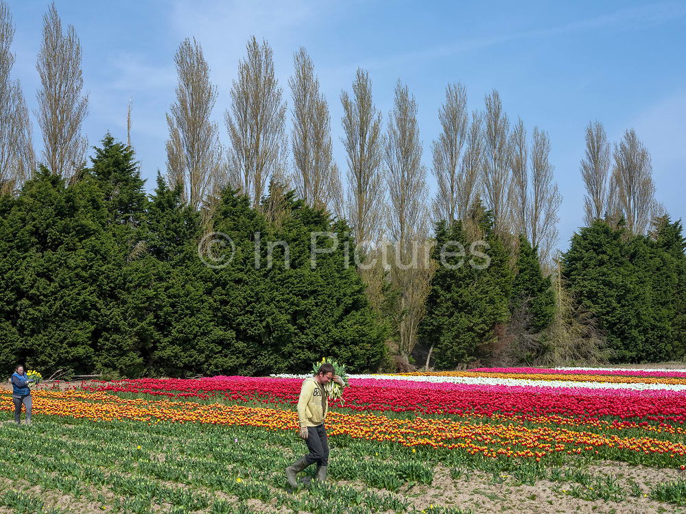 Bulgarian workers carrying freshly cropped tulips in a Lincolnshire flower field farmed by Multiflora Flowers on 9th April 2020 in Holbeach, Lincolnshire, United Kingdom. It is said that 'If you see a colourful field of flowers, the crop has failed.' Because of the UK lockdown due to the Covid-19 pandemic wholesalers have closed their doors and supermarkets who are their main customer cancelled their orders leaving the growers with nowhere to sell their flowers. In subsequent days the grower will remove the waste tulip heads in order for the bulbs to retain energy to grow for next year. The Bulgarian workforce arrived in the UK one week before the current travel restrictions and are in lockdown at the farm and are currently cropping for a limited number of orders for any remaining tulips from supermarkets have started to trickle in.