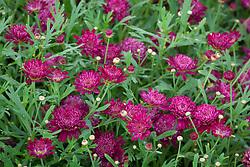Argyranthemum Madeira Crested Merlot