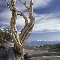Bristlecone Pine, White Mts. CA. Sierra Nevada bkg.