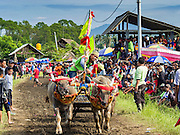 09 OCTOBER 2016 - JEMBRANA, BALI, INDONESIA: The finish line of a makepung (buffalo race) in Tuwed, Jembrana, Bali. Makepung is buffalo racing in the district of Jembrana, on the west end of Bali. The Makepung season starts in July and ends in November. A man sitting in a small cart drives a pair of buffalo bulls around a track cut through rice fields in the district. It's a popular local past time that draws spectators from across western Bali.     PHOTO BY JACK KURTZ
