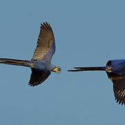 Hyacinth macaw (Anodorhynchus hyacinthinus) pair in flight, Pantanal, Brazil.