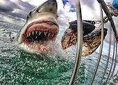 Teacher snaps extreme close-up of snarling great white on GoPro